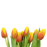 Beautiful tulips with copy space Royalty Free Stock Photos