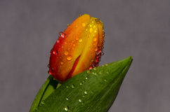 Beautiful tulips of different colors in the drops of water on bl Royalty Free Stock Photography
