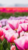 Beautiful tulips in a Dutch landscape. Royalty Free Stock Photos