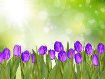 Beautiful tulips. EPS 10 Stock Image