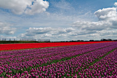 Beautiful tulips field in Holland, Netherlands Royalty Free Stock Images