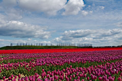 Beautiful tulips field in Holland, Netherlands Royalty Free Stock Photo