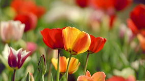Beautiful tulips in field near Amsterdam stock video footage