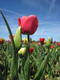 Beautiful tulips field in spring time Stock Image