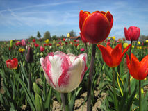 Beautiful tulips field in spring time Royalty Free Stock Photo