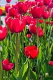 Beautiful tulips field Royalty Free Stock Photography