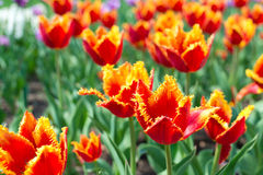 Beautiful tulips field Stock Photography