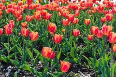 Beautiful tulips field Royalty Free Stock Images