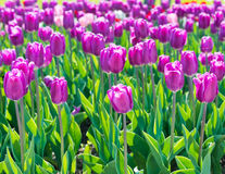 Beautiful tulips field Royalty Free Stock Photos