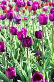 Beautiful tulips field in spring time Royalty Free Stock Photography