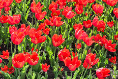 Beautiful tulips field in spring time Royalty Free Stock Images