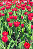 Beautiful tulips field in spring time Royalty Free Stock Image