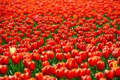 Tulips fields during the springtime Stock Images