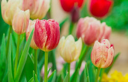 Beautiful of tulips flower with nature background Stock Images