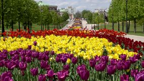 Beautiful Tulips flower in park. Spring landscape in park. Tsaritsynskiy Park, Moscow, Russia stock video footage