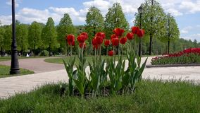 Beautiful tulips flower in park. stock footage