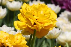 Colorful tulips meadow nature in spring, close up royalty free stock image