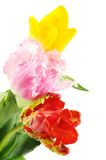 Beautiful tulips flowers Royalty Free Stock Images