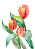 Beautiful Tulips flowers. White background. Watercolor illustration Royalty Free Stock Image