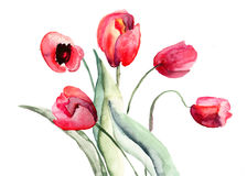 Beautiful Tulips flowers. Watercolor painting Royalty Free Stock Photo