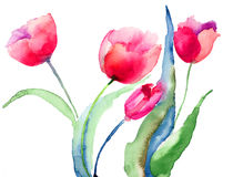 Beautiful Tulips flowers. Watercolor painting Stock Image