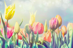 Beautiful tulips flowers bed in park or garden, pastel pale toned Stock Photography