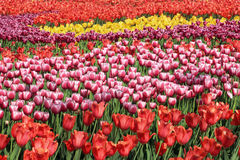 Beautiful tulips flowers field. Stock Photography