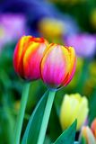 Beautiful tulips in fresh garden#3 Stock Photography