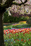 Beautiful tulips in full bloom Stock Photo
