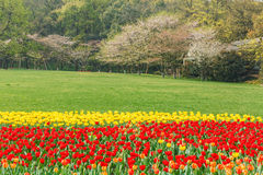Beautiful tulips are in full bloom in garden Stock Photography