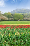 Beautiful tulips are in full bloom in garden Stock Photos