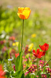 Beautiful tulips Royalty Free Stock Photos
