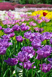 Beautiful tulips in garden Stock Photo