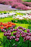 Beautiful tulips in garden Royalty Free Stock Photos