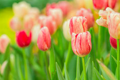 Beautiful tulips in garden Stock Photo