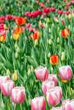 Beautiful tulips in the garden Royalty Free Stock Images
