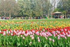 Beautiful tulips in  garden Stock Photography