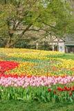 Beautiful tulips in  garden Stock Images
