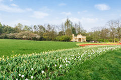 Beautiful tulips in  garden Royalty Free Stock Photography