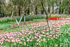Beautiful tulips in  garden Royalty Free Stock Images