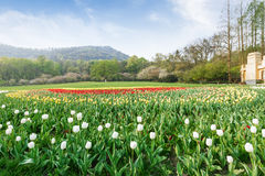 Beautiful tulips in  garden Stock Photos