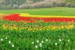 Beautiful tulips in  garden Royalty Free Stock Photo