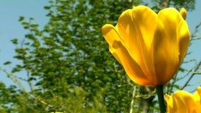 Beautiful tulips in garden. 360 HD 1080i stock video footage