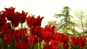 Beautiful tulips in garden. 360 HD 1080i stock video