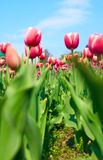 Beautiful tulips in the garden stock image