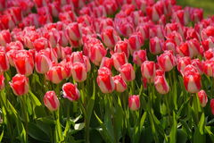 Beautiful  tulips in garden Royalty Free Stock Image
