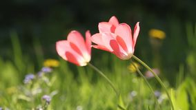 A beautiful tulips in the garden. Vivid, fresh spring scenery stock footage