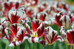 Beautiful of tulips Stock Images