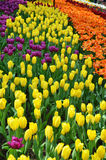 Beautiful of tulips Stock Image
