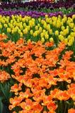 Beautiful of tulips Stock Photos